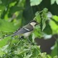 170616-14シジュウカラの幼鳥