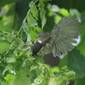 写真: 170616-16シジュウカラの幼鳥