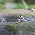 写真: 170618-8シジュウカラの水浴び