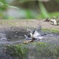 写真: 170618-11シジュウカラの水浴び