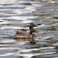 写真: 170620-1最初の雛が孵ってから61日目の二羽の幼鳥・カイツブリ