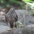 写真: 170716-3オオタカ・幼鳥