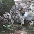 写真: 170716-5水の中に入ったオオタカ・幼鳥