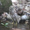 写真: 170716-6水の中に入ったオオタカ・幼鳥