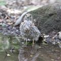 170717-5今日も来てくれました・オオタカの幼鳥