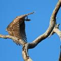 私の野鳥図鑑・101120-オオタカ