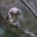 私の野鳥図鑑・140313オオタカの食事