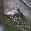 私の野鳥図鑑・140313餌を隠すオオタカ