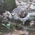 私の野鳥図鑑・170716水を飲むオオタカ・幼鳥