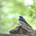 写真: 私の野鳥図鑑・140421オオルリ♂