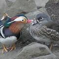 私の野鳥図鑑・080219「あのね・・」・オシドリ