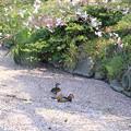 写真: 私の野鳥図鑑・100408オシドリ