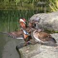 写真: 私の野鳥図鑑・100413「俺格好いいだろう」・オシドリ