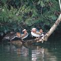 写真: 私の野鳥図鑑・130206オシドリ