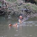写真: 私の野鳥図鑑・130209オシドリ