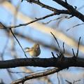 写真: 私の野鳥図鑑・121210-2オジロビタキ