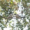 写真: 私の野鳥図鑑・121021オナガの給餌