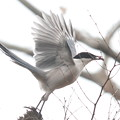 私の野鳥図鑑・121223-IMG_5106何かをくわえたオナガ