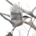 写真: 私の野鳥図鑑・121223-IMG_5106何かをくわえたオナガ
