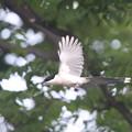 写真: 私の野鳥図鑑・130522-6オナガ