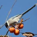 写真: 私の野鳥図鑑・161221-BQ2A1568柿を食べるオナガ