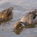 写真: 私の野鳥図鑑・070213-鼻から水を吐き出すオナガガモ