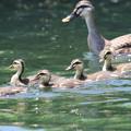 私の野鳥図鑑・160603カルガモの家族