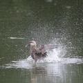 私の野鳥図鑑・160809カルガモの水浴び