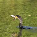 写真: 私の野鳥図鑑・160731ナマズを突き刺してしまい食べられないカワウ