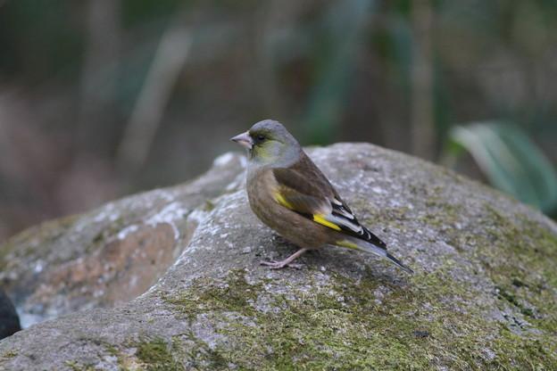 私の野鳥図鑑・110114カワラヒワ