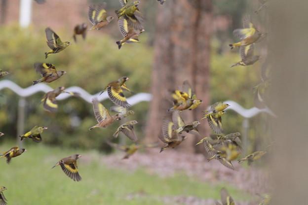 私の野鳥図鑑・110205カワラヒワ