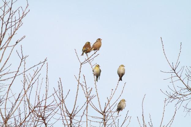 私の野鳥図鑑・110206左向け左!・カワラヒワ