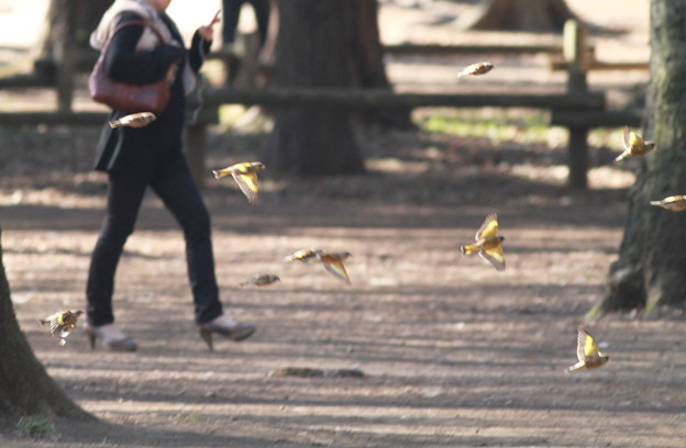 私の野鳥図鑑・110405公園の朝・カワラヒワ