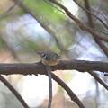 写真: 私の野鳥図鑑・121208キクイタダキ