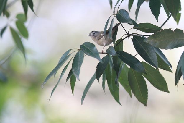 私の野鳥図鑑・130201キクイタダキ