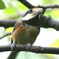 写真: 170923-3ヤマガラの舌