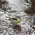 写真: 私の野鳥図鑑・110202キセキレイ