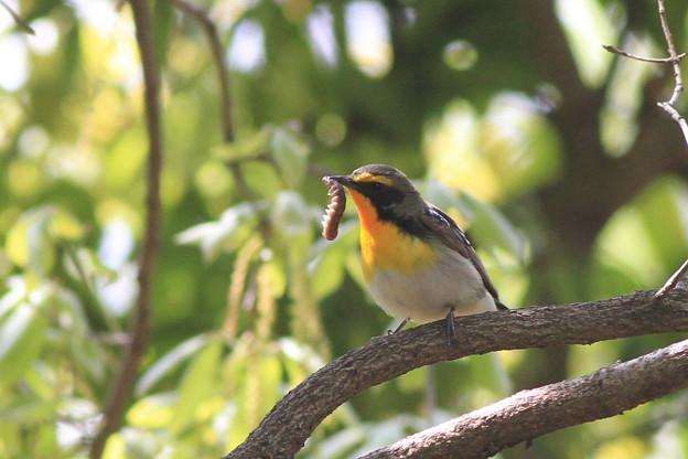 私の野鳥図鑑・100424-IMG_1750虫を捕ったキビタキ