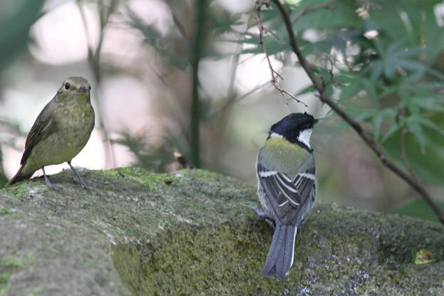 私の野鳥図鑑・101003キビタキ♀(左)とシジュウカラ