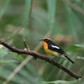私の野鳥図鑑・151005キビタキ♂