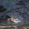 171001-11キビタキ♀の水浴び