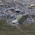 171002-3キビタキ♀の水浴び