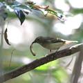 写真: 私の野鳥図鑑・151022虫を捕まえたキビタキ♀t