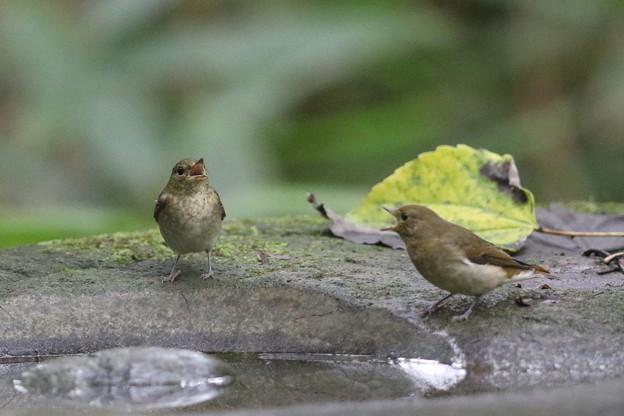 写真: 私の野鳥図鑑・160926キビタキ♀t