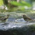 写真: 私の野鳥図鑑・161002キビタキ♀t(1/3)