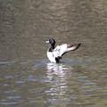 写真: 私の野鳥図鑑・100311キンクロハジロの舞い(1/2)