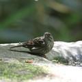 写真: 私の野鳥図鑑・170502クロジ♀