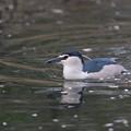 写真: 私の野鳥図鑑・150404水に浮くゴイサギ
