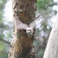 写真: 私の野鳥図鑑・090516雛の糞を捨てに行くコゲラ