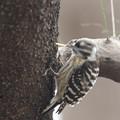 写真: 私の野鳥図鑑・160225食糧ゲット!・コゲラ